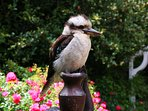Kookaburras, crimson rosellas, king parrots and cockatoos are frequent visitors to our gardens.