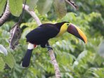 One of our daily visiting toucans.