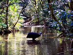 Rare capture of cassowary bathing in Daintree creek by Daniel Lamond