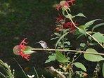 Hummingbird in the garden at Cooper Lake