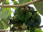 Baby parrot sleeping on Mom in our trees