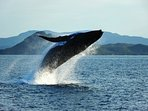 Take a whale watching excursion or watch them from shore.
