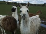 Our family of Lamas