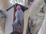 Galah feeding chick