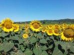 Ηλιοτρόπια που καλλιεργούνται στο χωριό μας