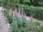 Beautiful lupins decorate the driveway in Spring