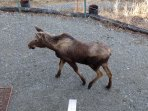 Surprise visit from our resident moose are always exciting