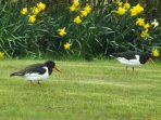 Oystercatchers, regular visitors to our garden.