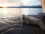 Local harbor seal