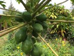 Papayas Galore.....We Like to Share