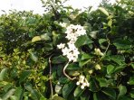 Flowering Stephanotis