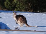Even the 'roos' play in the snow