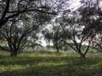 Lovely walks among the olive trees fields, which you can find all over around Lumbarda.