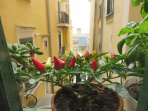 peppers on the balcony