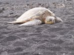 Green Sea Turtle, Punalu'u Black Sand Beach