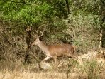 Local red deer can be seen in the oak forests around La Cazalla de Ronda.