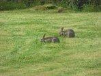 Wild rabbits having early breakfast? lol!
