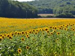 Our Sunflowers field!!! Spectacular view!!
