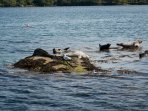 Seals basking on a rock in Bantry Bay seen from the ferry to Garnish Island