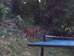 Chevreuil intéressé par le ping pong