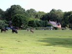 New Forest cattle and ponies on Woodgreen common