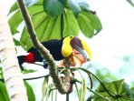 Toucans visit the house daily