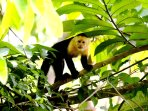 White-faced monkey in the nearby trees