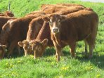 The world famous Limousin cattle.