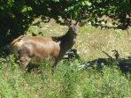 The deer often come into our garden