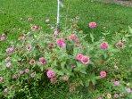 Steliana's flowers