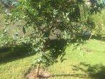 Pomegranate tree in garden
