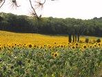 Sunflowers under tuscan sun!