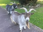 Our goats Del boy and Rodney