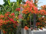 Shower under the bougainvillaea