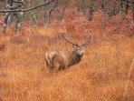 Stags to FRONT of cottage rutting and roaring in the Autumn