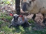 First lamb born this Spring on the estate