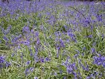 Bluebells in the wood this Spring