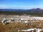 Visit the Cairngorm Reindeer Herd.