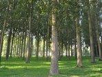Poplars are cultivated along the Authie valley and bring local income as well as providing firewood.