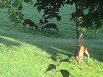 Deer in the garden in the early morning dew.