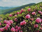 Beautiful native rhododendrons grow wild around the cabins and all over the area.  Bloom in June.