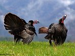 A flock of Eastern Wild Turkeys visit our property almost daily to feed and water at our little pond