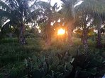Sunset through the palm grove