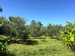 The olive grove off the pool