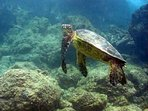 Snorkel with our many resident sea turtles
