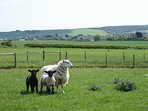 Eve and lambs with panoramic views on a walk from Lamb's Knees