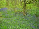 Bluebells amongst the Beech trees in Friston forest. 5 mins drive from Lamb's Knees