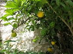 Lemons growing for your gin and tonic