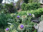 Vegetables available to guests - artichokes this spring