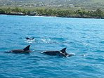 Watch the dolphins pass by the house from your lanai.